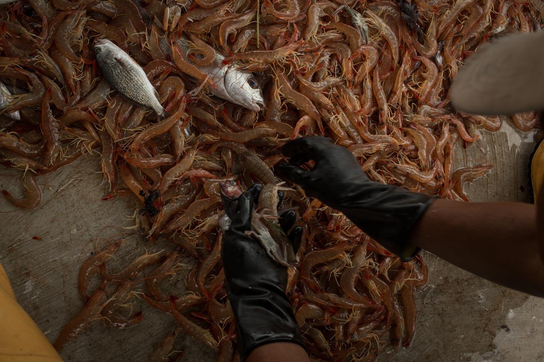 Camarones atrapados por el método de arrastre. Foto: Iván Castaneira