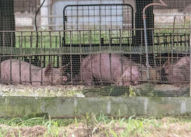 Granja de cerdos en territorio Tsáchila. Foto: Juan Andrés Iza