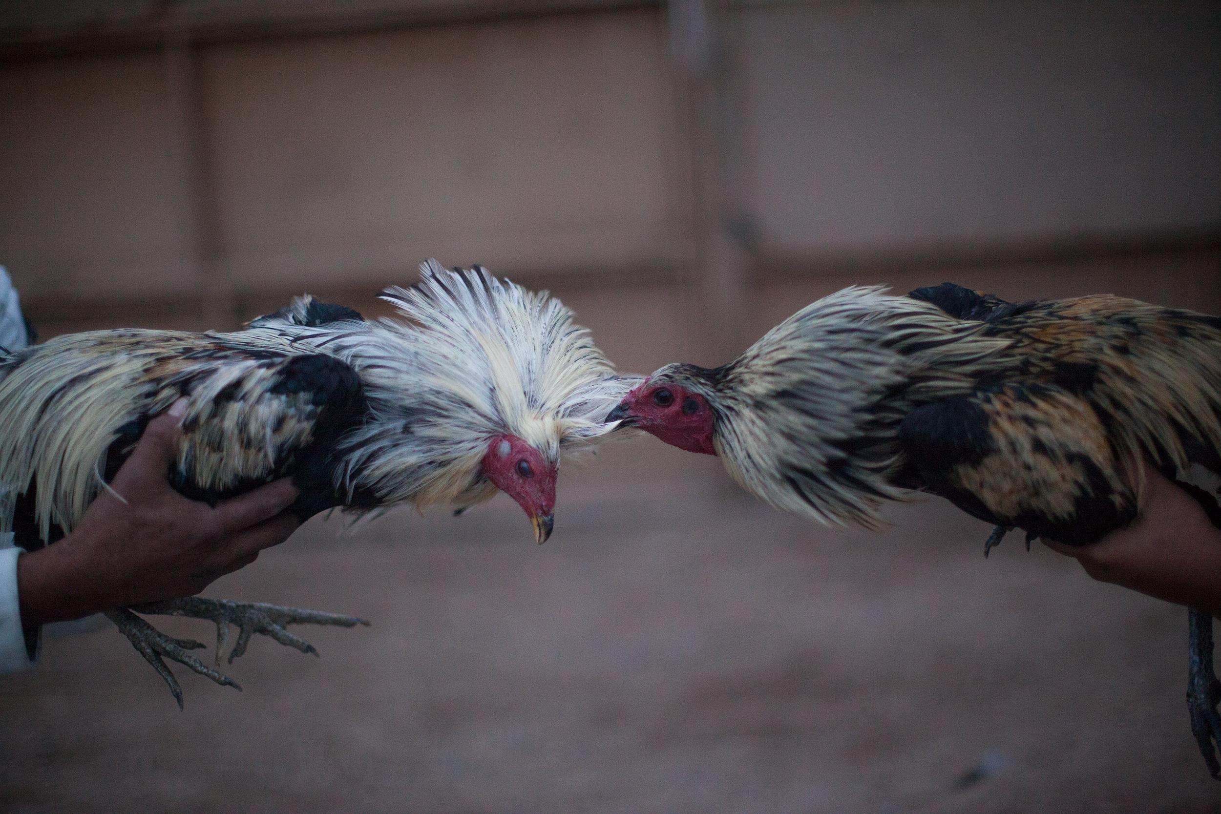 Pelea de gallos en Juárez. Foto: Alejandro Saldívar