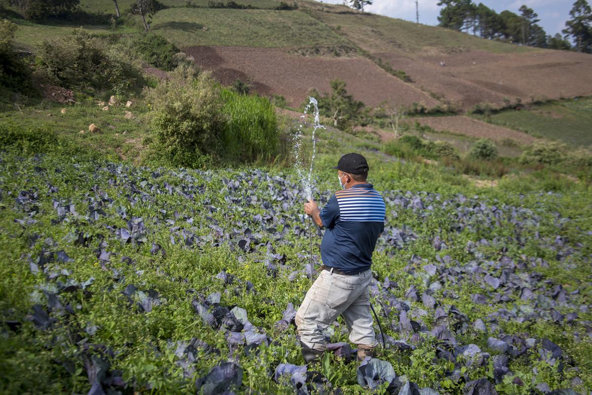 Patricio Colíndres de la Asociación de Agricultores de Montaña Grande, abre una llave de agua para mostrar el sistema de riego por goteo instalado en una parcela de repollos morados ubicada en la zona núcleo de La Tigra. Tegucigalpa, 24 de abril de 2021. Foto: Ezequiel Sánchez